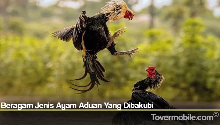 Beragam Jenis Ayam Aduan Yang Ditakuti
