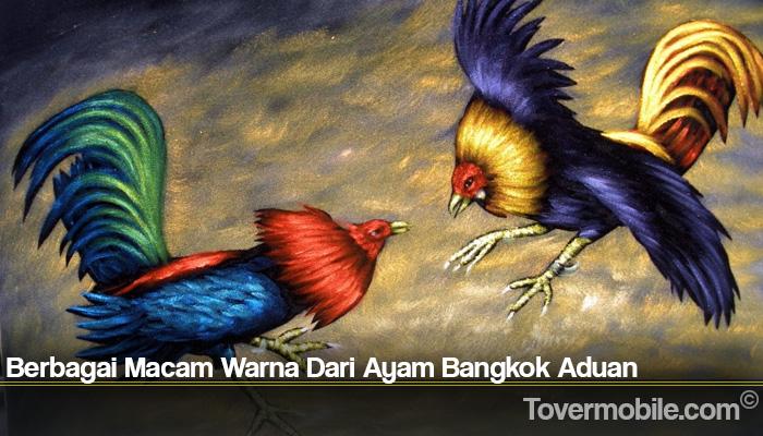 Berbagai Macam Warna Dari Ayam Bangkok Aduan