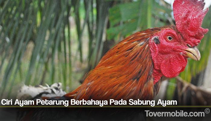 Ciri Ayam Petarung Berbahaya Pada Sabung Ayam