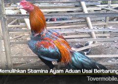 Tips Memulihkan Stamina Ayam Aduan Usai Bertarung