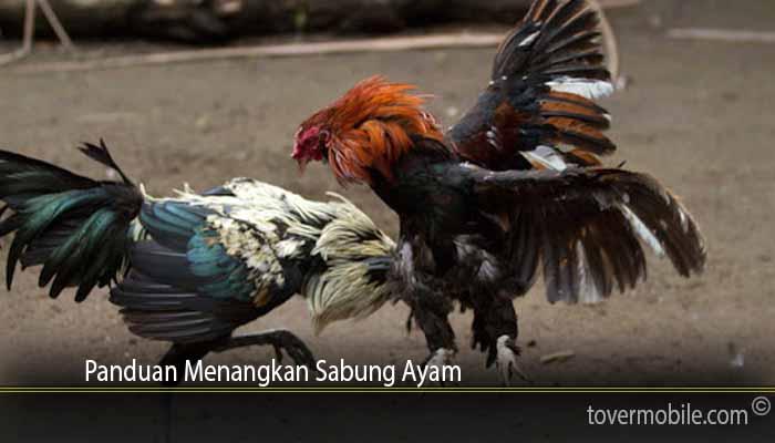 Panduan Menangkan Sabung Ayam